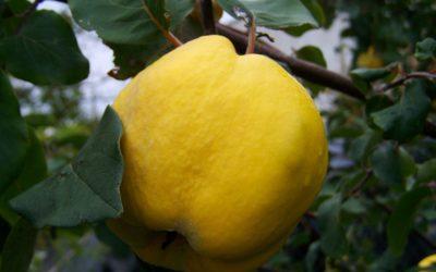 Il Cibosofo e la mela cotogna