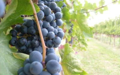 Il cibosofo e l'uva da tavola