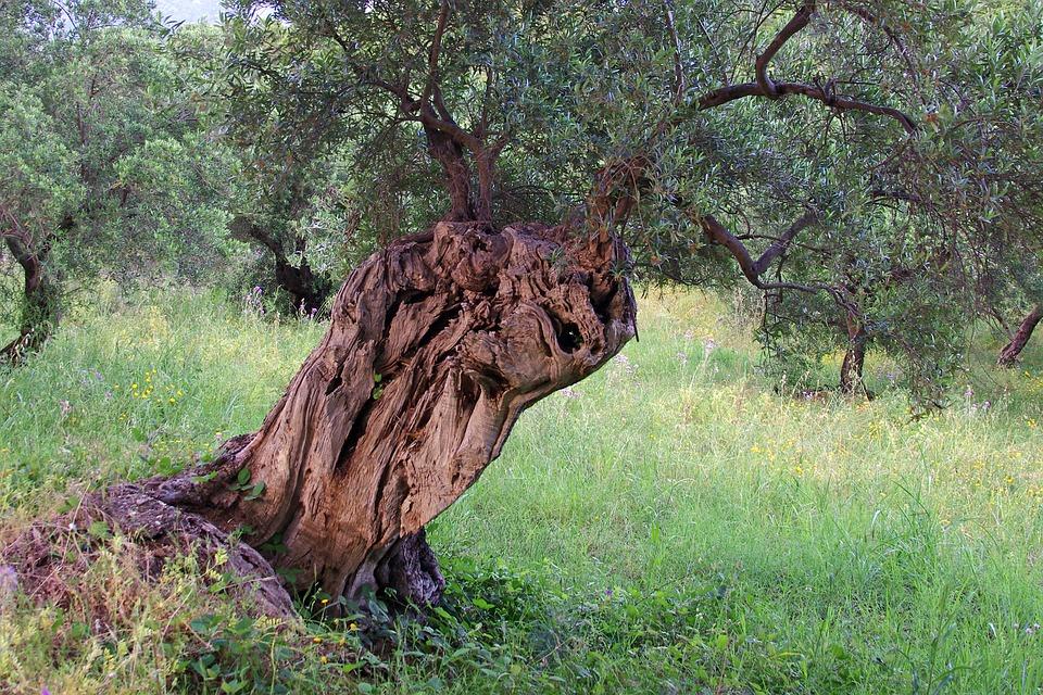 Il cibosofo e l'olivo