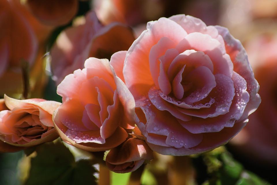 Il cibosofo e la rosa