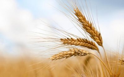 Il Cibosofo e il grano