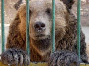 L'orso M13 in gabbia prima di essere ucciso