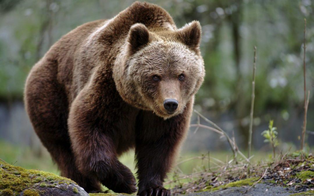 Non uccidiamo l'orso M49! Gli animali più pericolosi siamo noi, gli uomini!